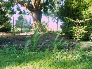 Ringa ringa lillies and Nadina Domestica under the robina tree