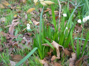 First snowdrops of the season