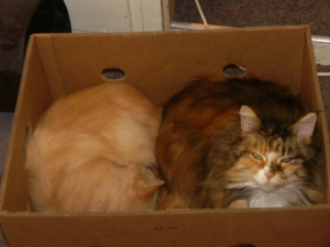Rosie and Strawberrry, the two maine coons in a box