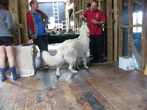 Me in the woolshed getting a tasty treat