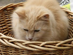 Rosie the maine coon sitting in a basket.