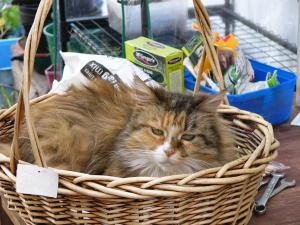 Strawberry the maine coon in the same basket.