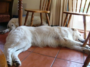 Me having a snooze on the cool kitchen floor