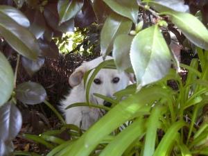Me hiding in the camellia bush when I saw the leash.