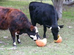 The cows having a good old munch on the pumpkin.