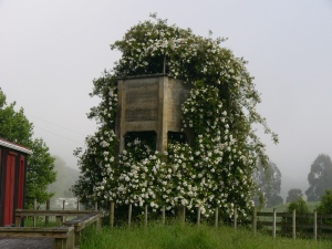 The old water tower covered in wild roses