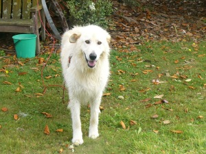See, now I am a clean, white maremma.