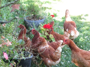 The chickens in mummy's garden