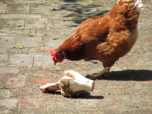 See that chicken is trying to take my bone!!