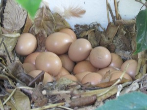 See the chickens eggs.