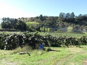 Farmer Rae's kiwifruit orchard