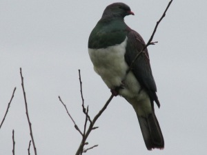 A New Zealand Naive Wood Pidgeon, called a Kereru.