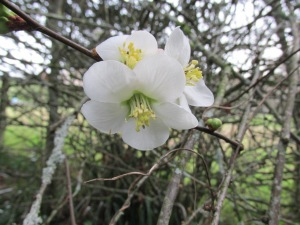 The first blossom on a plum tree