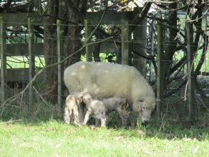Mum, with not one but three little lambs.