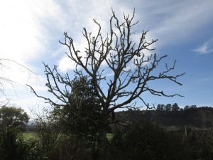 The dead walnut tree.