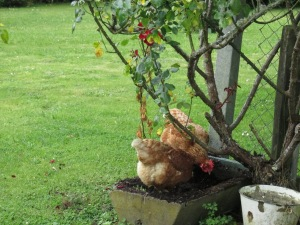 Naughty chickens in one of mummy's planters