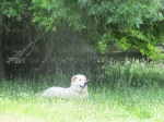 Me, the handsome maremma in the grass