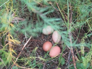 An egg nest in the asparagrus.
