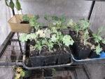 Kale ready for the garden