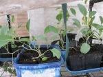 Brocille seedlings