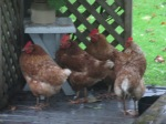 Those peasky chickens sheltering from the rain.