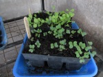Lettuce and cauliflower seedlings